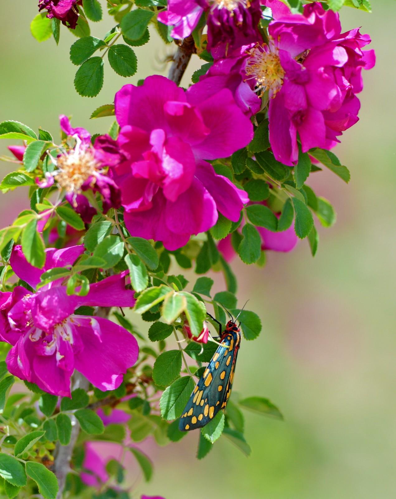 高原玫瑰芬芳四溢迎宾客     在拉萨市达孜区现代农业产业园,一只蝴蝶停在玫瑰种植基地的玫瑰花上(6月9日摄)。     近日,在西藏拉萨市达孜区现代农业产业园,由西藏玫瑰生物科技发展有限公司种植的200亩玫瑰盛开,吸引众多游客前来观赏采摘。     新华社记者 张汝锋 摄